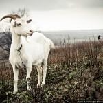 <b>Как воронежские фотографы козочек снимали</b>